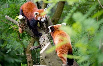 Zagreb Zoo Red Pandas